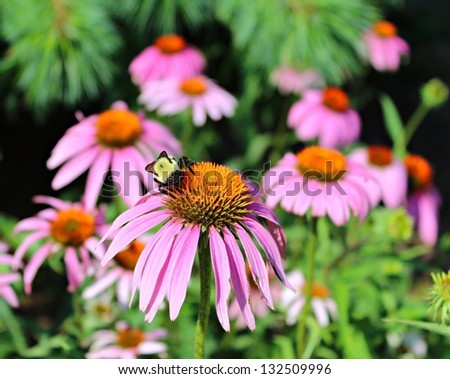 A bee pollinating a cone flower in the spring/Bee on Pink Cone Flower/Bee on Pink Cone Flower