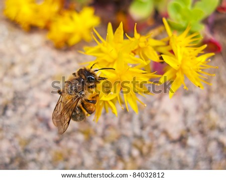 A bee pollinating a yellow flower, macro image