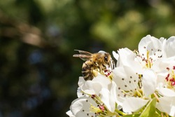 a bee pollinating white apple blossoms. macro shots