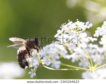 A bee sits on a white flower and collects nectar. Pollinating a plant by insect in the meadow on a sunny summer day. Compound umbel inflorescence of wildflower closeup macro. Shallow depth of field