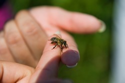 a bee sits on the finger of a woman's hand. bee close up. hand bee