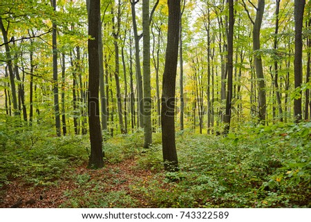 A beech forest in the Vienna Woods in autumn with different age classes in the stand.