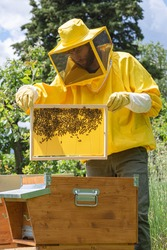 A beekeeper in yellow work wear checks the progress of cells building on a newly-added honeycomb frame to evaluate the health and strength of the Carniolan honey bees colony on a sunny day in Italy.