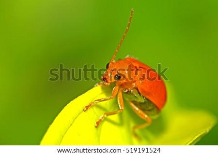 A beetle on leaf #519191524