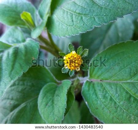 A beggar's ticks (Bidens pilosa) inflorescence with yellow flowers between radial leaves and leaves in the background.