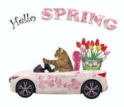 A beige cat drives a car painted with pink flowers with a pail of tulips. Hello spring. White background. Isolated.