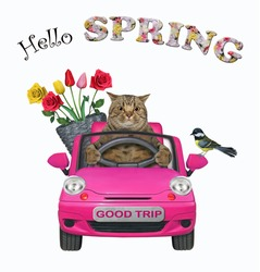 A beige cat with a pail of flowers is driving a pink car. Hello spring. White background. Isolated.