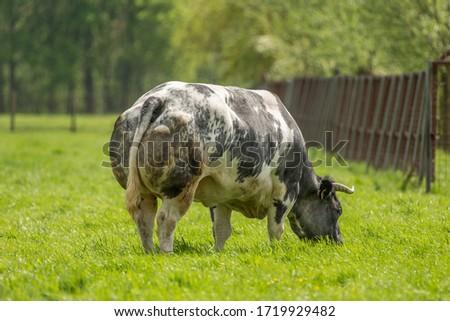 A Belgian Blue bull, grazing in the meadow Foto stock ©