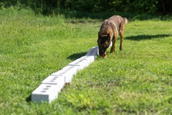 A Belgian Sheepdog sniffs a row of containers in search of one with a hidden object. Training to train service dogs for the police, customs or border service.