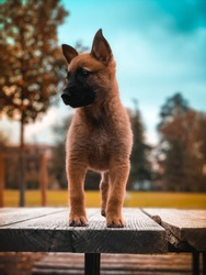 A Belgian shepher malinois puppy