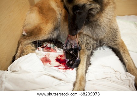 Belgian shepherd bitch helping her newborn puppy to get out of the