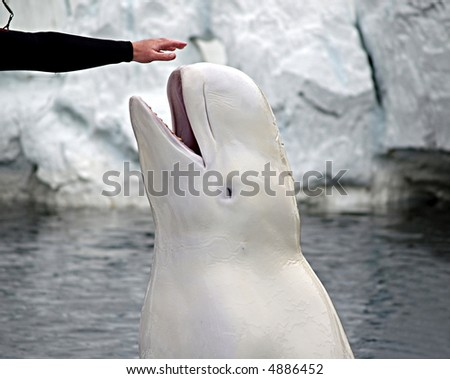 A beluga whale spyhops out of the water to touch her trainer's outstretched hand