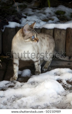 A Bengal cat playing in the snow