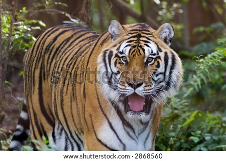 A Bengal tiger approaching through the woods - stock photo