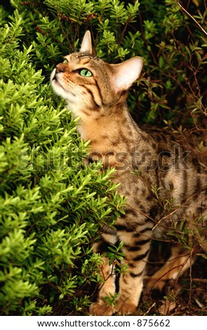 A Bengali special breed kitten peeping over a hebe bush in a flowerbed.