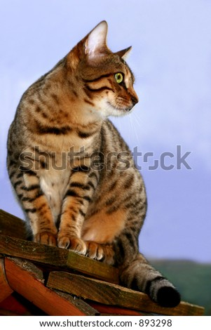 A Bengali special breed kitten sitting on a bird box waiting to catch birds.