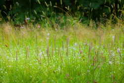 A bent flower grass grows in the meadow