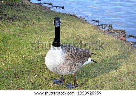 a bernache du Canada est une grande espèce d'oie sauvage avec une tête noire et du cou, des taches blanches sur le visage, et un corps brun. Photo stock ©