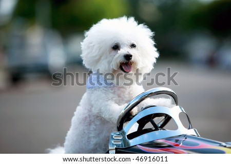a bichon frise dog drives her hot rod pedal car around town - stock photo