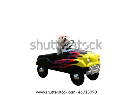 a bichon frise dog drives her hot rod pedal car around town isolated on white with room for your text or images