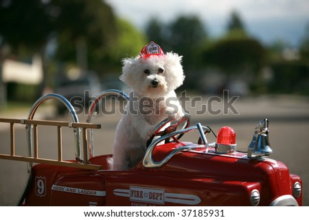 stock photo : A Bichon Frise dog enjoys her ride in a Pedal car Fire Truck