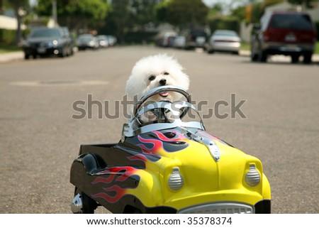 a Bichon Frise Dog in her Pedal Car