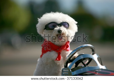 a bichon frise dog wears her red bandana as she drives her hot rod pedal car around town
