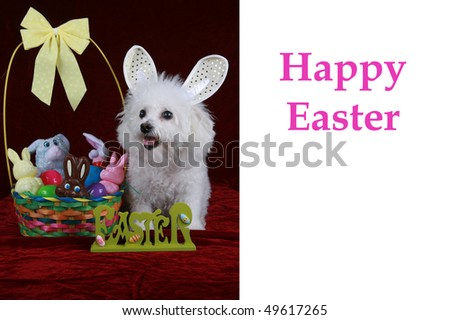 "a bichon frise poses as the ""easter bunny"" on a greeting card concept with the words ""Happy Easter"" in white. Text is easily removed and replaced by your own"