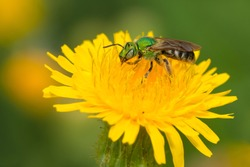 A Bicolored Sweat Bee is collecting nectar from a yellow Dandelion flower. Taylor Creek Park, Toronto, Ontario, Canada.