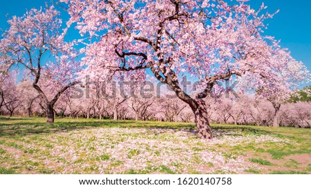 A big almond tree with flowers blooming the first weeks of spring with pink almond trees in bloom at Quinta de los Molinos city park downtown Madrid at Alcala street in early spring. Foto stock ©