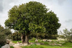 A big ancient carob tree, on a hilltop in the Adullam region of Israel, on an overcast day.