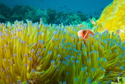 A big anemone carpet on Koh Tao