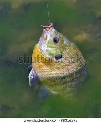 A big, beautiful Bluegill Sunfish (Lepomis macrochirus) on a fisherman's line.