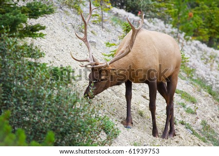 A big, beautiful, bull elk, feeding on nearby greenery, in world renown Banff National Park, Alberta, Canada.