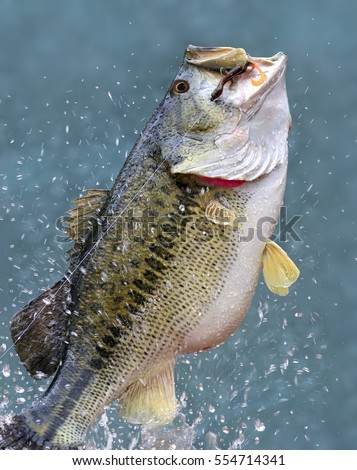 A big beautiful leaping Largemouth bass (Micropterus salmoides) on a fisherman's line.