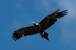 A big, beautiful Wedge-tailed Eagle glides overhead in the brilliant Australian sky.