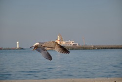 A big bird of single seagull in Istanbul Turkey. Seagull flying to bosporus sea with lighthouse and a public transportation ship background