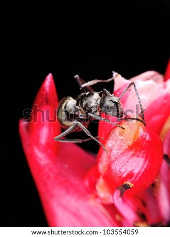A big black ant on a red flower with isolated black background