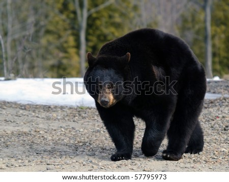 A big black bear in early Spring - stock photo
