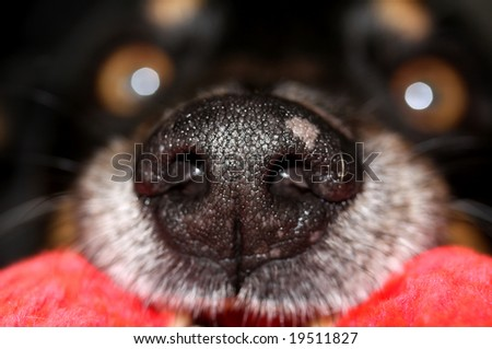 A big black dog\'s nose with the eyes in the background