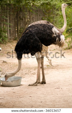 A big black ostrich eating in the Zoo