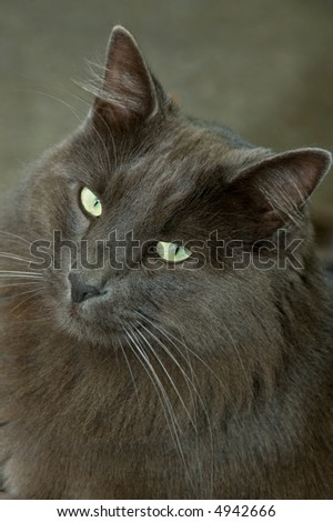 A big blue cat with a cute expression on his face
