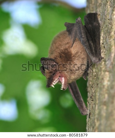 A Big Brown Bat (Eptesicus fuscus) on a woodland maple tree showing off his very impressive teeth.