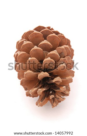 A big brown pine cone from a tree isolated on white background