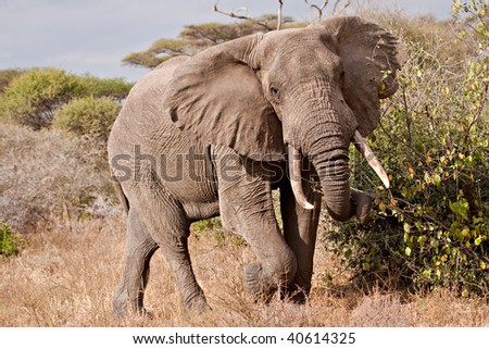 A big bull elephant mock charges in Tarangire National Park in Tanzania.