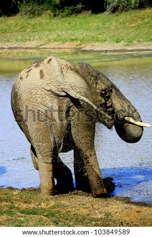 A big bull elephant splashing and spraying water to cool down in the African heat at a waterhole in Addo elephant national park,south africa