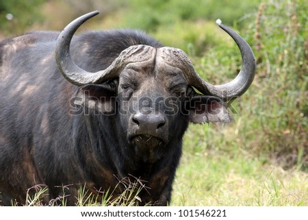 A big Cape Buffalo in Addo Park, South Africa