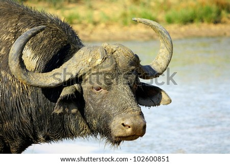 A big Cape buffalo in this portrait. Taken at a waterhole in Pumba game reserve,eastern cape,south africa