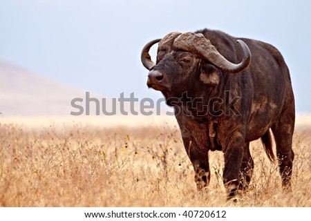 A big cape buffalo looking out across the African plains.