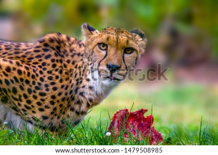 a big cat cheetah while eating the prey #1479508985
